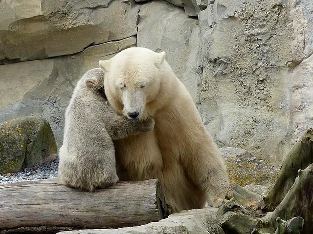 Polar Bear Valeska und Lale