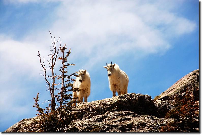 Mountain goats 1