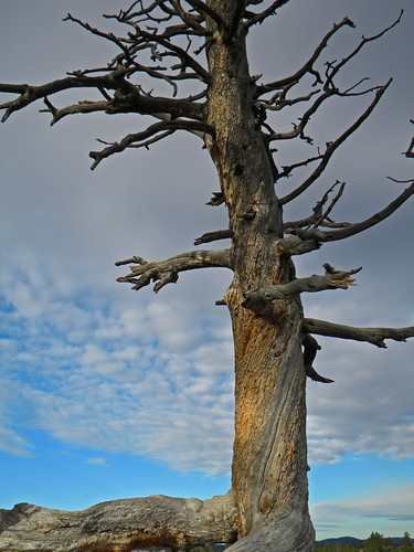 Twisted Tree in Bryce Canyon