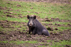animal, peccary, wild boar, pig, fauna, pig-like mammal, warthog, pasture, wildlife,