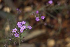 Baeckea ramosissima