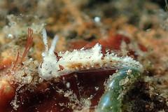 コトヒメウミウシ属の一種 12 Goniodoridella sp.12