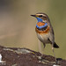 Bluethroat (Luscinia svecica) by Stefan Johansson.