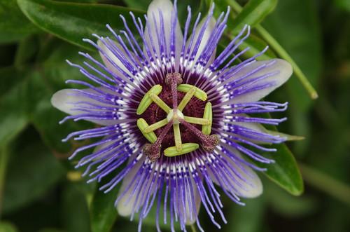 Passiflora. Fotografía de Cesar Fernández López.