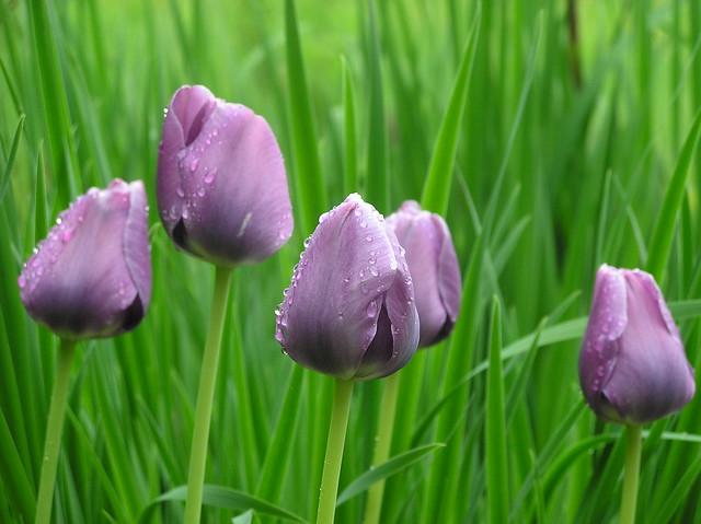 Tulipa cumlaude