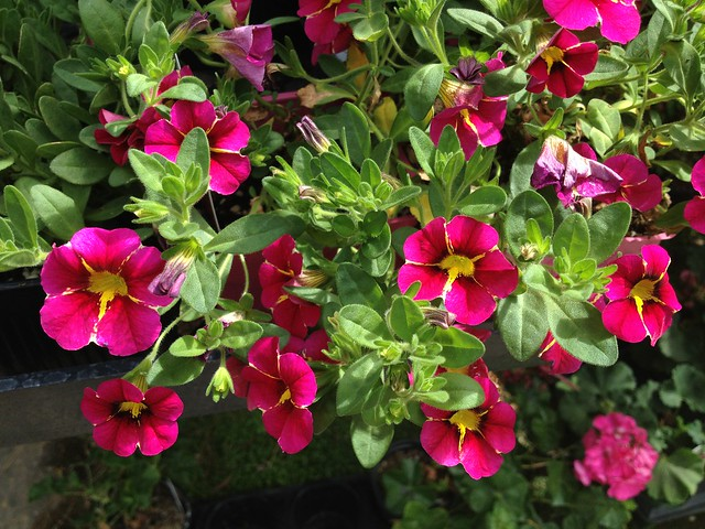 Calibrachoa flowers