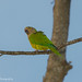 Perico carisucio / Brown-throated Parakeet by Andres CV Photography