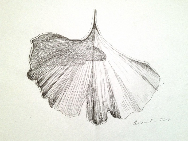 Gingko leaf sketch