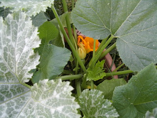 June 2013 zucchini