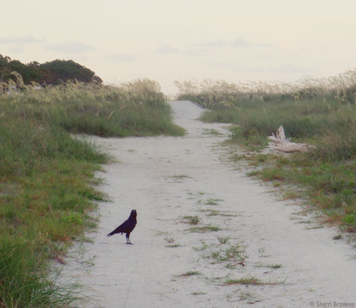 crow on beach