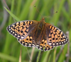 Dark Green Fritillary Butterfly Rutland by davidearlgray