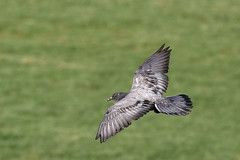 harrier(0.0), kite(0.0), animal(1.0), bird of prey(1.0), wing(1.0), fauna(1.0), buzzard(1.0), beak(1.0), bird(1.0), flight(1.0), wildlife(1.0),