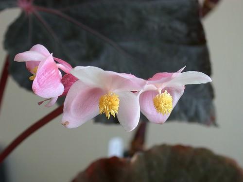 Begonia 'Taconite'