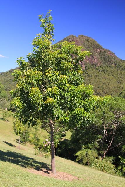 Flindersia oppositifolia - Mountain Silkwood