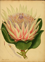 sketch(0.0), plant(0.0), produce(0.0), peony(0.0), art(1.0), flower(1.0), yellow(1.0), painting(1.0), flora(1.0), protea(1.0), illustration(1.0), proteales(1.0), watercolor paint(1.0), modern art(1.0), acrylic paint(1.0),