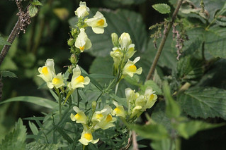 Linaria vulgaris-Common Toadflax-4