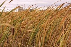 prairie, agriculture, field, grass, chrysopogon zizanioides, crop,