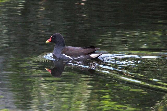 Moorhen, River Aire, Robberts Park