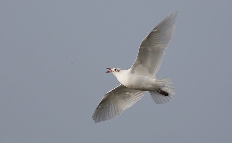 Mediterranean Gull insecting