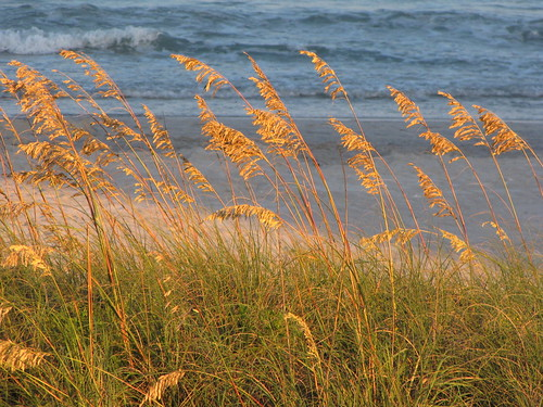 ocean light sea vacation plants sun sunlight plant beach water grass coast sand waves south sandy north creative wave northcarolina commons east cc creativecommons carolina grasses southeast sunlit oats oat seaoats grassy seaoat