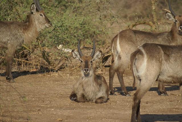 Waterbucks en Imbabala