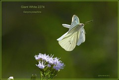 Giant White Texas Butterfly photography by Ron Birrell, DSC_2274
