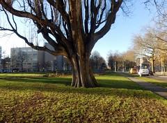 Tree Olympiaplein