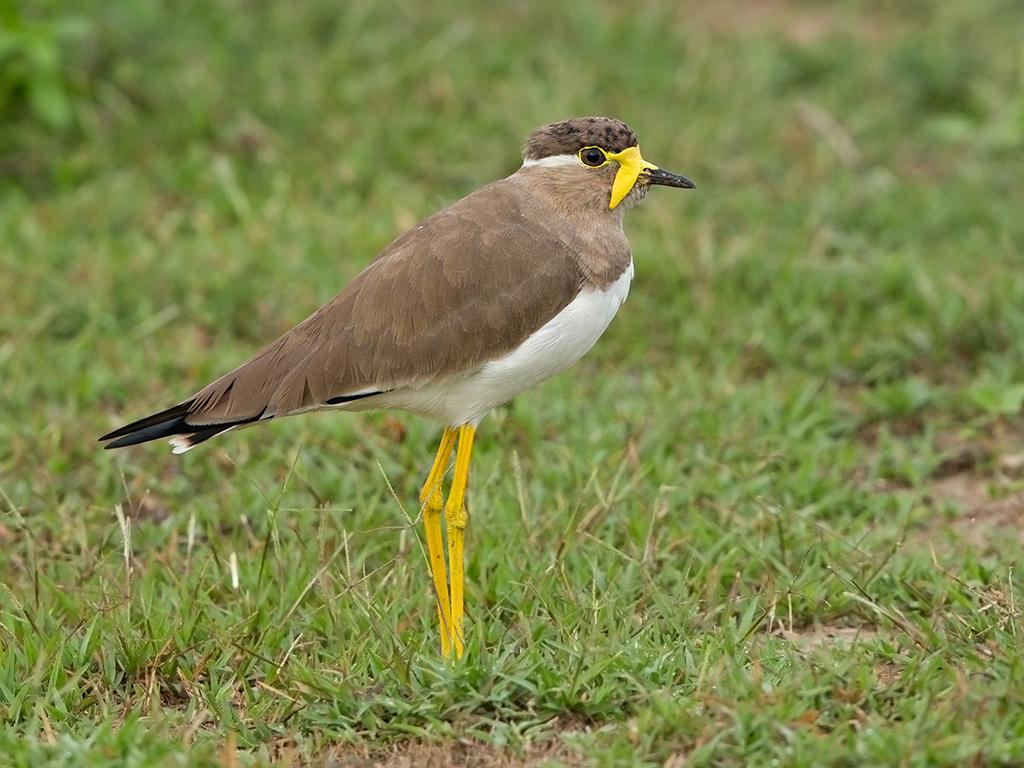 Yellow Wattled Lapwing Sri Lanka 2013-11-29