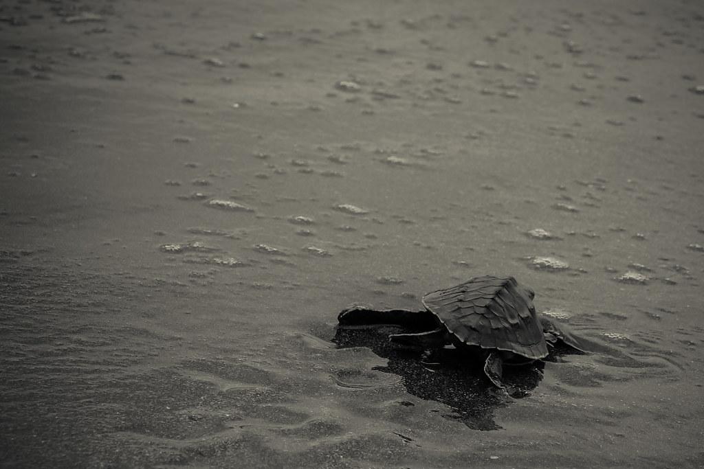Schildpadjes vrijlaten in Pemuteran