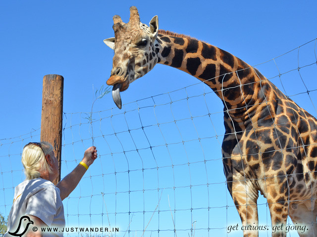 PIC: Bill feeding a Giraffe at Out of Africa Wildlife Park