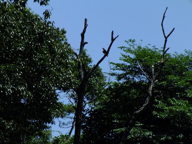木の上にとまっているサシバ.ゆっくりと旋回しながら山の向こうへと飛んでいった.