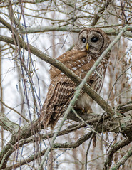hawk(0.0), falcon(0.0), animal(1.0), bird of prey(1.0), branch(1.0), owl(1.0), fauna(1.0), beak(1.0), great grey owl(1.0), bird(1.0), wildlife(1.0),