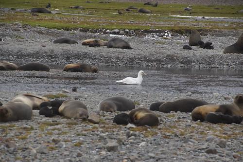 097 Witte reuzenstormvogel