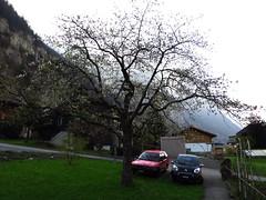 20130502 RT 001 Jakobus Lauterbrunnen Baum