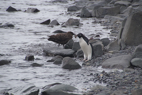 214 King George Island - Carlini station Adeliepinguin en skua