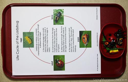 Life Cycle of a Ladybug