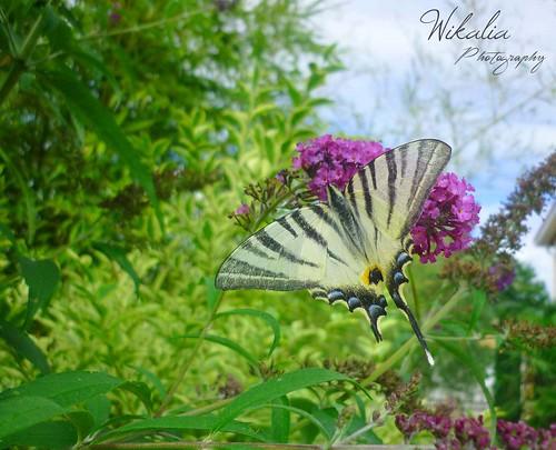 flowers wild nature fleur jaune canon butterfly landscape eos couleurs vert bleu papillon land paysage printemps insectes papilio ailes grâce machaon légèreté 1100d