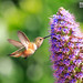 hummingbird by Eric 5D Mark III