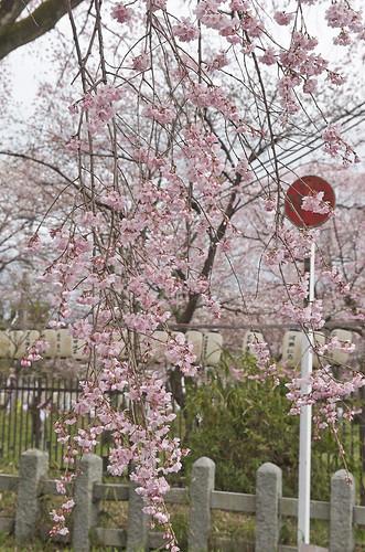 【写真】2014 桜 : 平野神社/2020-06-29/IMGP5565