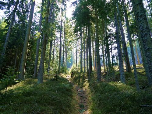 trees light shadow green forest licht grün wald bäume schatten fichten firs spruces fischbacheralpen stanglalm stanglalpe