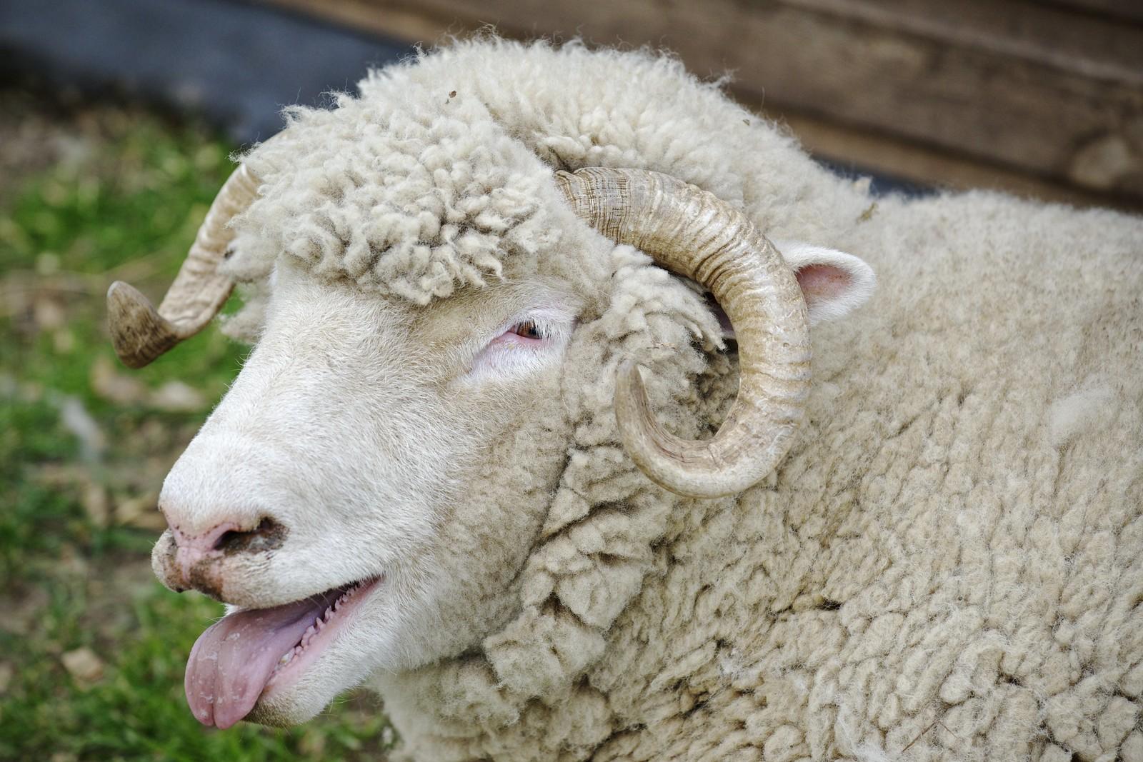 Rolling Stones sheep