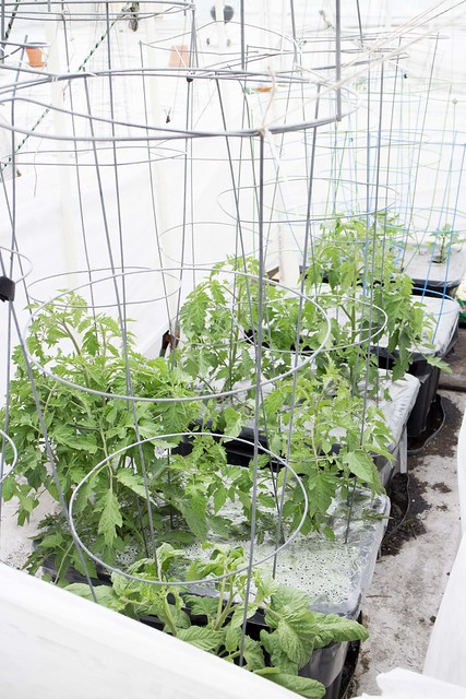 Tomato Cages May 31_13