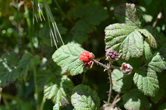 blackberry, shrub, berry, branch, leaf, plant, thimbleberry, wine raspberry, herb, flora, fruit, cloudberry, dewberry, bramble,