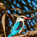 Woodland Kingfisher (Dave Montrevil)