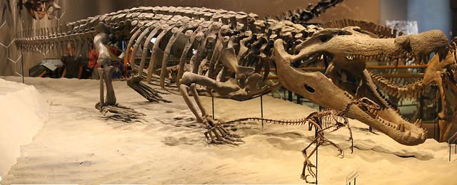Deinosuchus hatcheri at the Natural History Museum of Utah