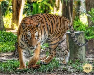 Malayan Tiger in HDR
