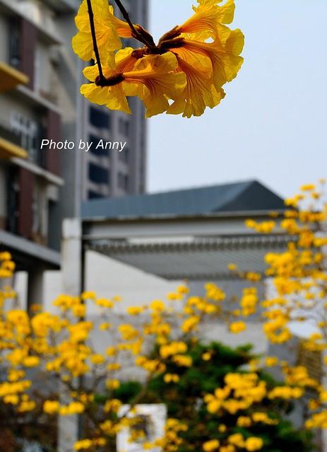 黃風鈴木40