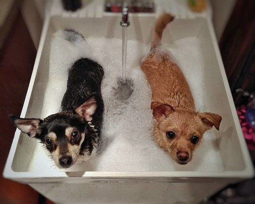 Two dogs bathing in a utility sink. Post trail run ritual. #dogs #dogbath #bathing #utilitysink #chihuahua #ratcha #betsy #madmax #friends #warm #beavercreekoregon #cute #cuteness #clean #dirty