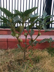 Datura Plant (Datura Inoxia) on the embankments of River Gomti @ Lucknow