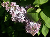 Lilacs in blom again.